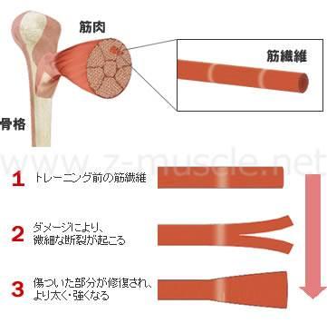 「筋肉の修復 写真」の画像検索結果